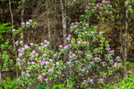 Catawba Rhododendrons in Bloom on Mountainside, Newfound Gap Road, Great Smoky Mountains National Park, TN