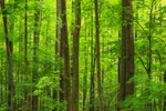 Hardwood Forest on Newfound Gap Road, Great Smoky Mountains National Park, TN