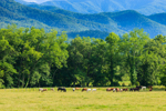 Horses in Meadows in Cades Cove at Base of Great Smoky Mountains, Great Smoky Mountains National Park, TN