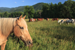 Horses Grazing in Pastures in Early Evening, Caves Cove, Great Smoky Mountains National Park, TN