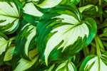 Close Up of Hostas in Country Garden, Athol, MA