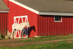 White Horse against Red and White Barn in Early Morning Light, Beacon Hollow Farm, Town of New Shoreham, Block Island, RI