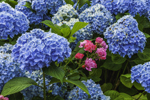 Blue Hydrangeas and Pink Roses in Country Garden, Groton, CT