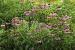 Purple Coneflowers Naturalized in Country Garden, Stonington, CT