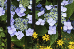 Blue Lacecap Hydrangeas and Wrought Iron Fence, Mystic, Groton, CT