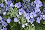 Close Up of Blue Lacecap Hydrangeas, Mystic, Groton, CT