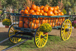 Wagon Full of Pumpkins and Mums, New Hampton, NH