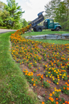 Colorul Marigolds Flowing from Truck Garden, Hancock, NH