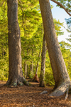 Old White Pine Trees and Hardwood Forest at Edge of Chocorua Lake, Lakes Region, Tamworth, NH