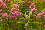 Spotted Joe-pye Weed and Common Milkweed Pods, Birch Hill Wildlife Management and Recreation Area, Royalston, MA