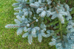 New Growth on Blue Spruce Tree, Shrewsbury, MA