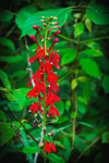 Close Up of Cardinal Flowers along Millers River, near Bearsden Conservation Area, Athol, MA