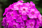 Close Up of Pink Garden Phlox in Country Garden, Athol, MA