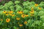 Black-eyed Susans and Sedum in Garden, Martha's Vineyard, Tisbury, MA