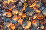 Close Up of Colorful Seashells on Beach, Shelter Island Sound, Shelter Island, NY