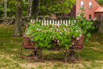 Petunias in Antique Wagon at Country Home, Royalston, MA