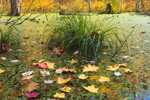 Sedges, Fallen Leaves, and Duckeweeds in Freshwater Wetlands with Fall Foliage, Brookfield, MA