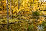 Freshwater Wetlands with Fall Foliage, Brookfield, MA