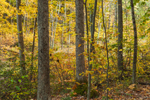 Deciduous Forest with Fall Foliage, Brookfield, MA