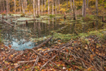Beaver Dam in Freshwater Wetlands with Fall Foliage, Brookfield, MA