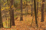 White Pine Tree Trunks in Mixed Deciduous and Conifer Forest in Fall, Sturbridge, MA