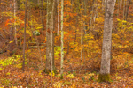 Colorful Deciduous Forest in Fall, Sturbridge, MA