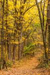 Old Woods Road through Sugar Maple Trees in Fall, Sturbridge, MA