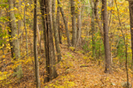 Trail through Oak Forest on Top of Esker in Fall, Sturbridge, MA