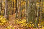 Trail through Red Oak and White Oak Trees on Top of Esker in Fall, Sturbridge, MA