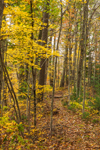 Trail through Mixed Deciduous and Conifer Forest along Top of Esker in Fall, Sturbridge, MA