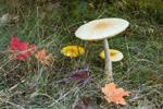 Amanita Mushrooms, Leaves, and Grasses, Sturbridge, MA