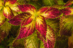 Close Up of Colorful Coleus Leaves, Essex, CT