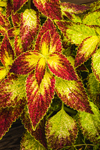 Close Up of Colorful Coleus Leaves, Essex, CT