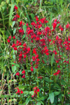 Dense Cluster of Cardinal Flowers in Full Bloom along Millers River, near Bearsden Conservation Area, Athol, MA