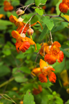 Close Up of Jewelweed (Spotted Touch-me-not) Flowers in Full Bloom, near Bearsden Conservation Area, Athol, MA