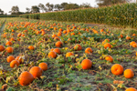 Field of Pumpkins with Corn in Background, Quonset View Farm, Portsmouth, RI