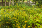Goldenrods, Asters, and Ferns in Late Summer along Millers River, near Bearsden Conservation Area, Athol, MA