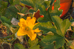 Close Up View of Pumpkin Flower and Leaves, Quonset View Farm, Portsmouth, RI
