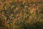 Backlit Foxtail Grasses in First Light at Edge of Field, Ferolbink Farms, Tiverton, RI