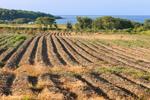 Potato Fields on Ferolbink Farms with Sakonnet River, Rhode Island Sound, and Atlantic Ocean in Distance, Tiverton, RI