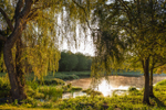 View through Weeping Willow Trees of Sunlight Shining through Ground Fog on Small Pond in Early Morining Light, Tiverton, RI