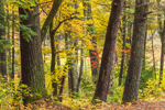 Fall Foliage in Mixed Deciduous and Conifer Forest, Royalston, MA