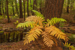 Ferns at Base of Eastern Hemlock Tree on Gulf Brook in Early Autumn, Athol, MA