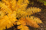 Cinnamon Ferns in Autumn Color, Royalston, MA