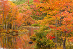 Brilliant Fall Foliage in Red Maples along Tully River, Royaston, MA