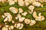Close-up View of Turkey Tail Mushrooms on Fallen Maple Tree Log, near Bearsden Conservation Area, Athol, MA
