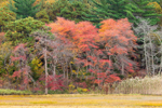 Fall Foliage in Woodlands along Scorton Creek Marsh, Cape Cod, Sandwich, MA
