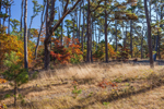 Dried Grasses in Opening in Pine Forest in Fall, Nickerson State Park, Cape Cod, Brewster, MA