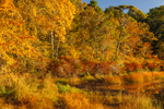 Colorful Fall Woodlands in Early Morning Light along Shoreline of Little Cliff Pond, Nickerson State Park, Cape Cod, Brewster, MA
