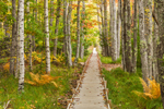 Boardwalk through Trees on Jesup Path in Fall, Great Meadow Area, Sieur de Monts Nature Center, Acadia National Park, Mt Desert Island, Bar Harbor, ME
